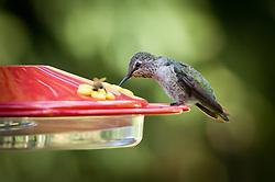 A juvenil male Anna's hummingbird sips nectar with a honeybee at a backyard feeder.