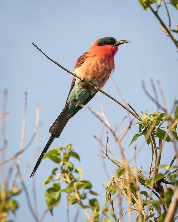 Southern Carmine Bee-eater, Botswana