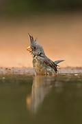 Pyrrhuloxia bathing in pond