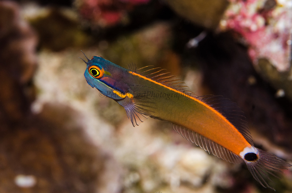 Yellow-eyed Blenny (Ecsenius melarchus)<br /> Raja Ampat<br /> West Papua<br /> Indonesia<br /> Endemic to central Indonesia