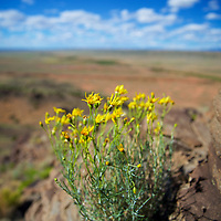 Atop Hidden Mountain in Los Lunas, some spring flowers thrive in a remote location high above the desert floor