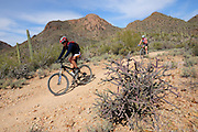 Mountain bikers cycle the Starr Pass Trail in the Tucson Mountains of the Sonoran Desert in Tucson Mountain Park in Tucson, Arizona, USA.