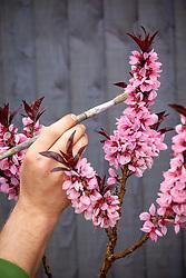 Pollinating dwarf peach tree with a paintbrush. Peach 'Crimson Bonfire'