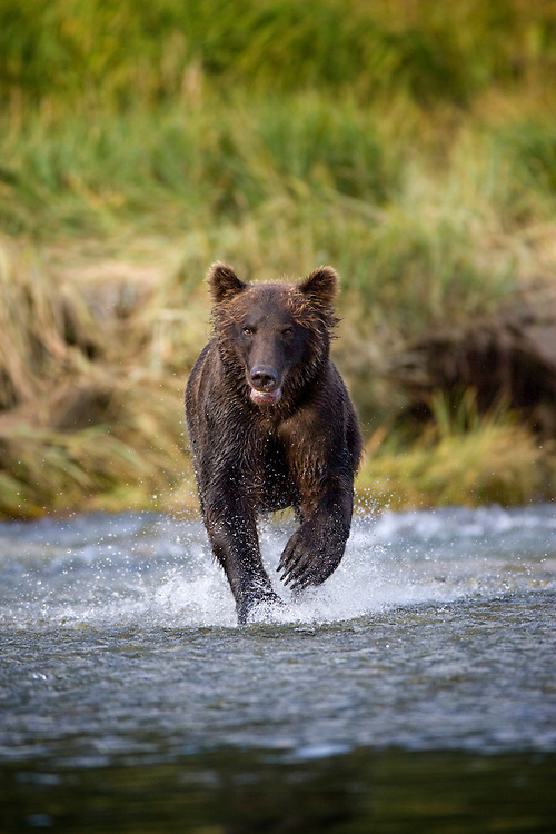 USA, Alaska, Katmai National Park, Kukak Bay, Brown Bear (Ursus arctos) chases spawning salmon in small stream in late summer