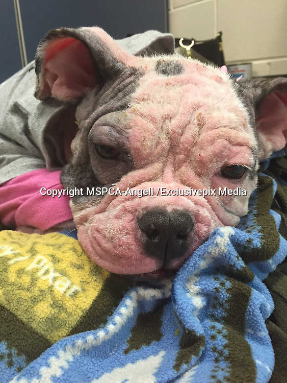 """Desperate Puppy Struck with """"Worst Ever"""" Case skin disease<br /> <br /> Officials at the MSPCA-Angell in Boston have called the skin disease plaguing a homeless puppy the worst they have ever seen and are determined to do everything possible to cure the four-month -old canine before placing her into a loving home<br />  <br /> Fortunately, the four-month-old bulldog-mix is benefitting from a revolutionary treatment administered by Dr. Klaus Loft of the dermatology service at the MSPCA's Angell Animal Medical Center—a treatment that is harnessing the power of her own immune system to heal her disease.<br />  <br /> Found on the Street <br /> Sheba was found outside in the Boston neighborhood of Dorchester on Feb. 22 and transferred to the MSPCA after a veterinarian at Boston's Animal Care and Control facility performed an initial assessment.<br />  <br /> Andrea Bessler, a veterinary technician in the clinic that abuts the adoption center, was shocked at her appearance.  """"In my nearly 11 years of practice I've never seen a case of mange this severe—she literally had no fur and was covered in oozing, open wounds,"""" she said.<br />  <br /> Sheba is suffering from Demodectic Mange, an infection caused by tiny, cigar-shaped egg-laying mites.  The mites reside and feed on the hair follicles and oil glands of the skin causing hair loss, severe pain and itching and—when left untreated—open, infected wounds.  The disease is not contagious and no other animals at the adoption center are at risk.<br />  <br /> Breakthrough Medical Treatment<br /> Dr. Loft has been treating Sheba for several weeks with a medication called Cytopoint, which he describes as the """"holy grail"""" for the treatment of severe skin infections.  """"Essentially, the drug creates an artificial antibody that turns off the intense 'itch signal,' preventing Sheba from further injuring herself through constant scratching.""""<br />  <br /> Sheba is also receiving antibiotics, medicated baths and pain medicine and, acco"""