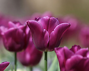 Image of a tulip