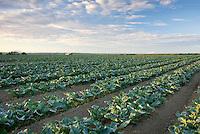 Rows of young Broccili plants Skagit Valley Washington USA