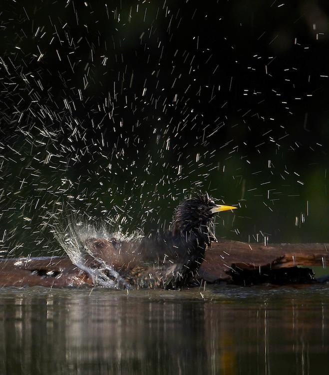Starling (Sturnus vulgaris) Pusztaszer Nature Reserve, Hungary