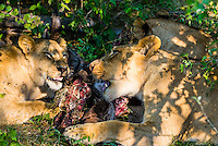 Female lion eating the carcass of a wildebeest, near Kwara Camp, Okavango Delta, Botswana.