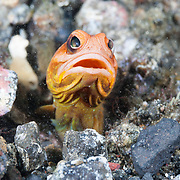 Jawfish (Opistognathus sp.) taking a look around after spitting out sand and rubble while maintaining its burrow