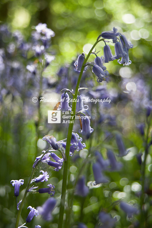 Image of Bluebells is Rycote estates wood. Trees in the background bokeh, natural lighting.