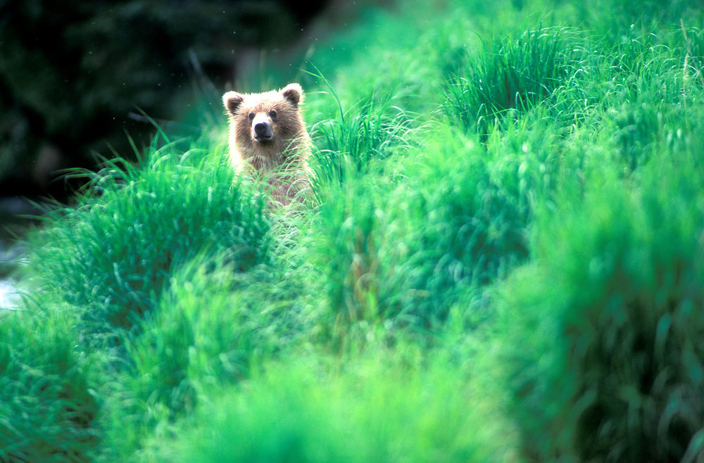 USA, Alaska, Katmai National Park, Grizzly Bear cub (Ursus arctos) peers through tall grass along Brooks River