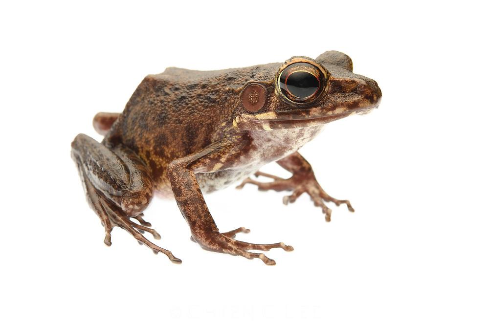 Brown Marsh Frog (Pulchrana baramica). Sarawak, Malaysia.