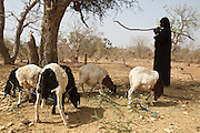 Ramata Ouedraogo waits under a tree while her sheep eat leaves in the village of Weotenga, Plateau-Centre region, Burkina Faso on Wednesday March 28, 2012. In the absence of grass during the dry season, Ramata sometimes uses  a long stick to break branches off trees so that her sheep can eat.