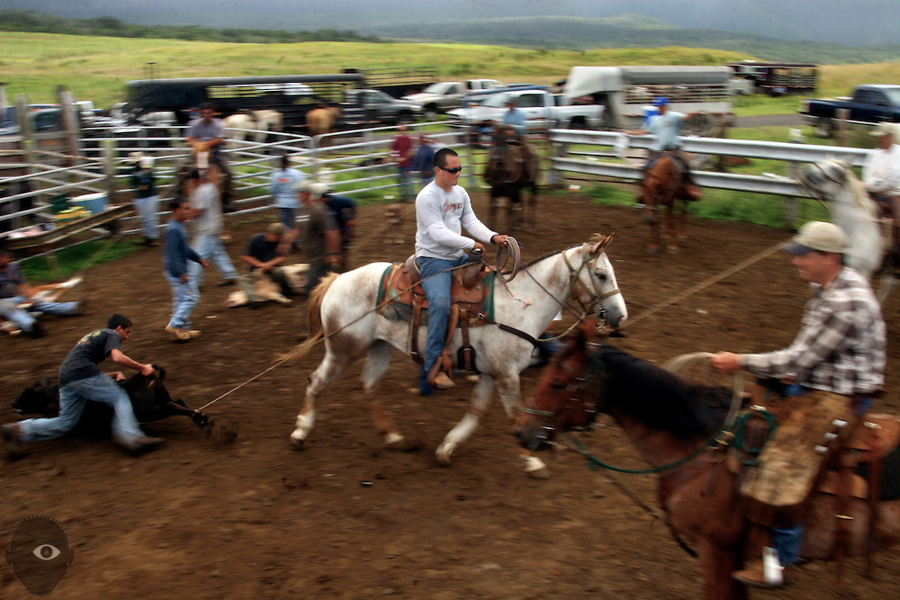 Cowboy Kainoa Lapera drags in another calf to the corral to be branded at the Kuahiwi Ranch  in the higher country above the town of Naalehu on the southern part of the Big Island, Hawaii.