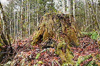 An old decaying tree stump in Winter.