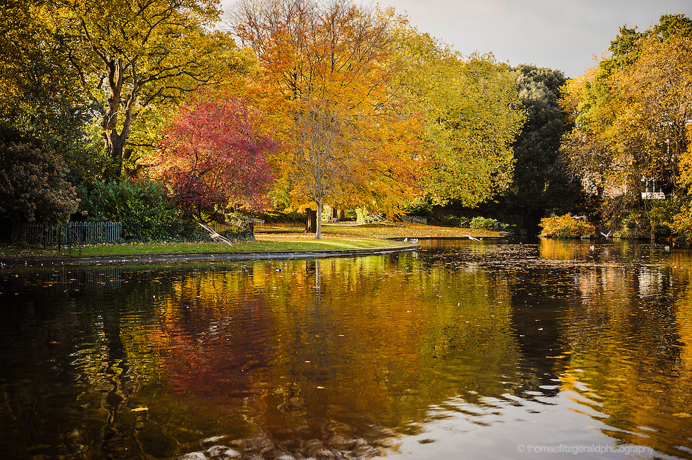 Bright red and Orange coloured autumn leaves reflecting in the waters of a lake and a seagull flys by