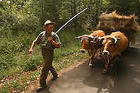 Farmer and his Oxen in the Aveyron, the Massif Central of France