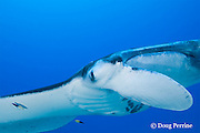 manta ray, Manta birostris, is attended by Hawaiian cleaner wrasses, Labroides phthirophagus ( endemic species ) at cleaning station, Honokohau, Kona, Hawaii ( the Big Island ), Hawaiian Islands, U.S.A. ( Central Pacific Ocean )