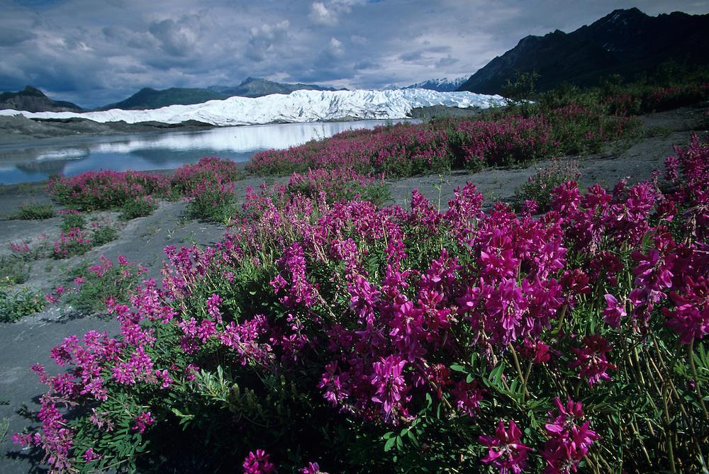 USA, Alaska, Fireweed (Epilobium angustifolium) and Matanuska Glacier in Chugach Mountain Range in summer