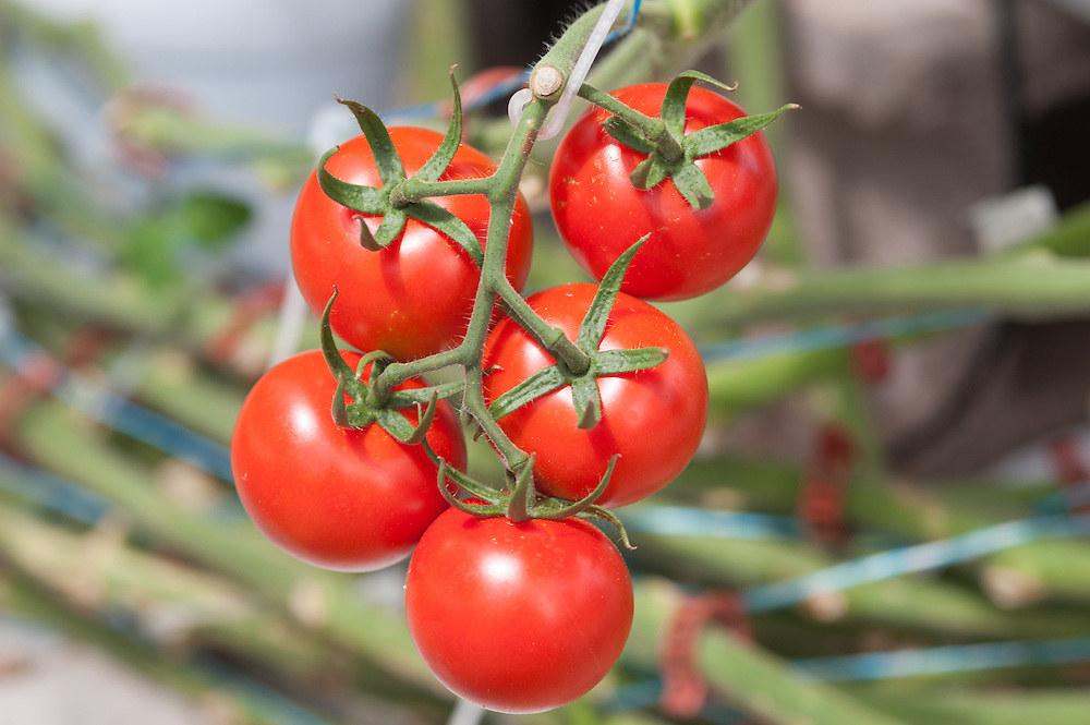 Tomatoes tomatoes in a Greenhouse