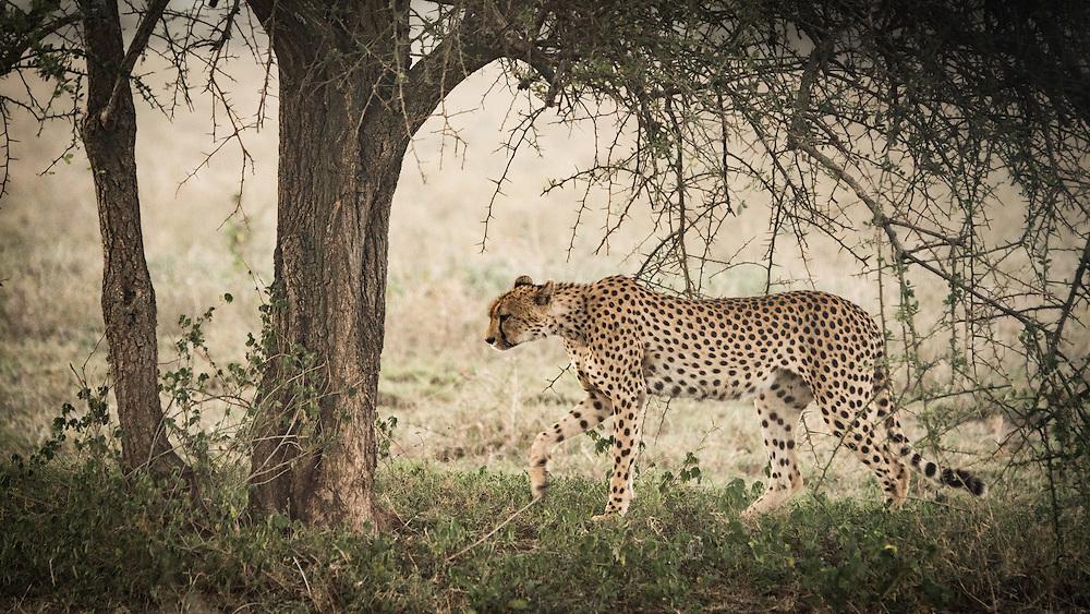 Cheetah, Ndutu, Tanzania