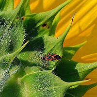 Close-up image of a small milkweed bug (Lygaeus kalmii) on the back of a sunflower head (Helianthus annuus), McKee-Beshers Wildlife Management Area, Poolesville, Maryland.