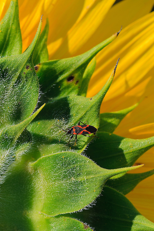Close-up image of a small milkweed bug (Lygaeus kalmii) on the back of a sunflower head (Helianthus annuus), McKee-Beshers Wildlife Management Area, Poolesville, Maryland.
