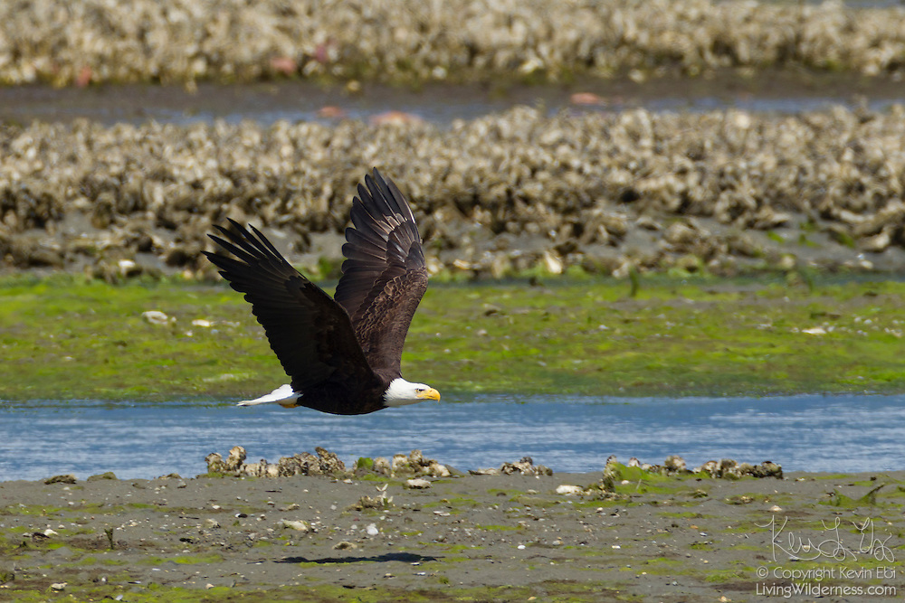 A bald eagle (Haliaeetus leucocephalus) flies over oyster beds in Hood Canal near Seabeck, Washington. Hundreds of bald eagles spend the early summer there to feast on migrating midshipman fish that get trapped in oyster beds during low tides.