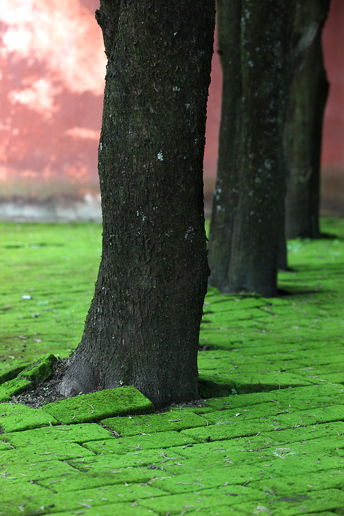 Trees growing among moss-covered bricks at Chong Sheng temple in Dali, Yunnan, China; September, 2013.