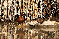 A pair of Cinnamon Teal rest on a log in the Bear River in northern Utah.