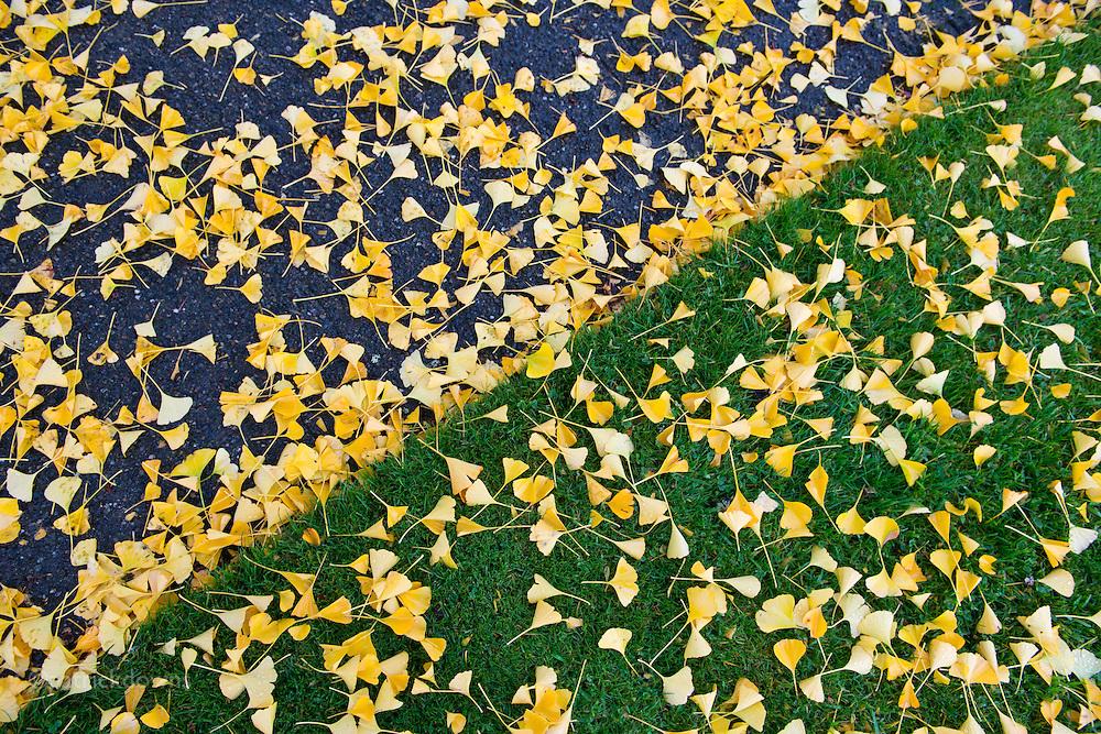Fallen leaves along a path, Olympia WA