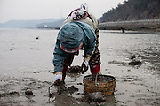 "Woman collecting mussels on the slowly closing ""Mysterious Sea Road"" at Hoedong shore (Jindo island). Jindo is the 3rd biggest island in South Korea located in the South-West end of the country and famous for the ""Mysterious Sea Route"" or ""Moses Miracle"". Every spring thousands flock to the shores of Jindo to walk the mysterious route that stretches roughly three kilometers from Hoedong to the distant island of Modo. Materializing from the rise and fall of the tides, the divide can reach as wide as forty meters."