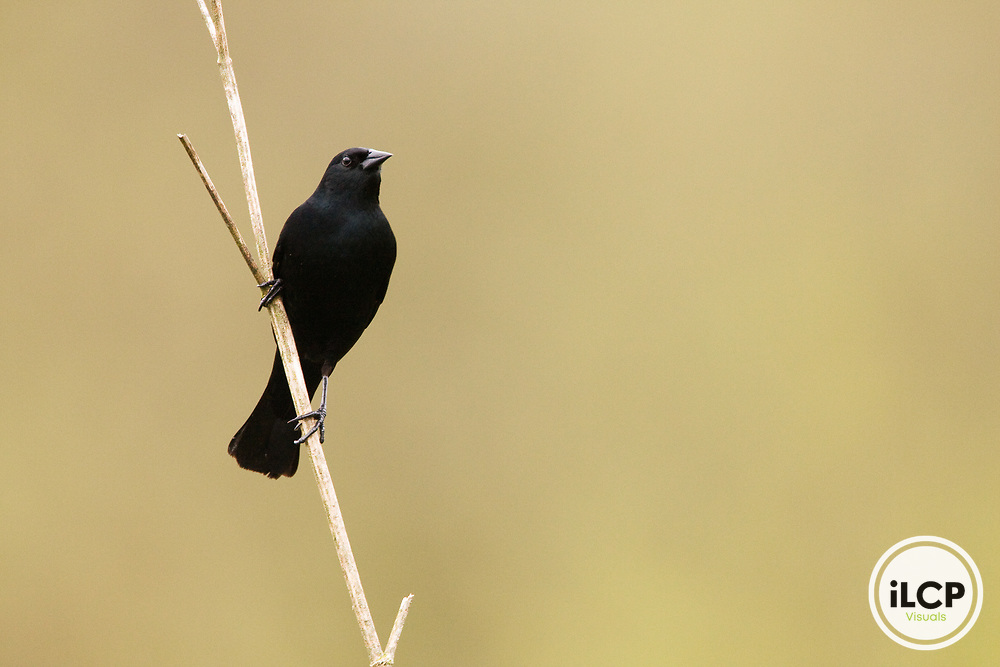 Red-winged Blackbird (Agelaius phoeniceus) male, Watsonville, Monterey Bay, California