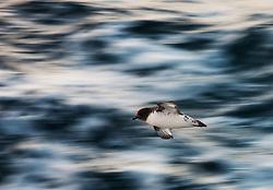 Cape petrel i sub-Antarctic oceans south of New Zealand