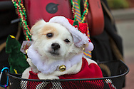 Dog in Santa hat in the sixth annual Krewe of Jingl New Orleans Christmas Parade. New Orleans has become one of the top tourist holiday destinations in the America.