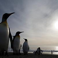 Antarctica, South Georgia Island (UK),  King Penguin (Aptenodytes patagonicus) along shoreline in massive rookery along Saint Andrews Bay