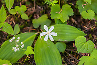 Extremely common all throughout the Pacific Northwest, the queen's cup is a member of the lily family found in most forests and many wooded areas that receive a lot of rainfall, and often growing in vast carpets.