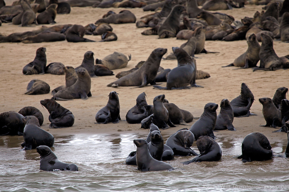 Africa, Namibia, Walvis Bay. Cape Fur Seal Colony of the Skeleton Coast.
