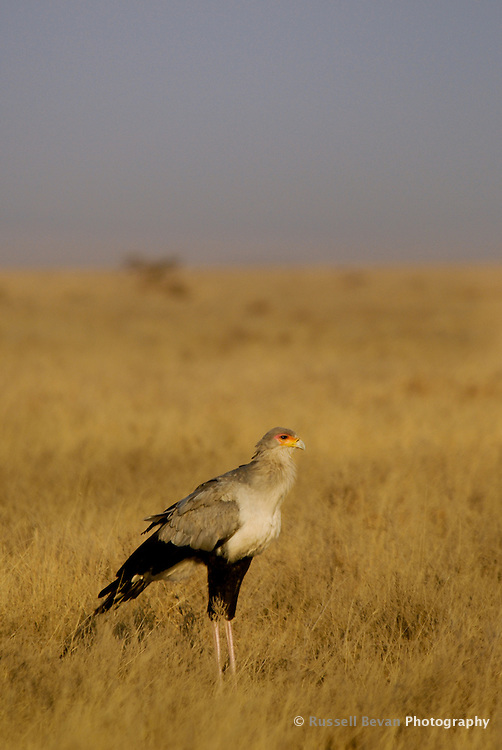A lone Secretary Bird in the Serengeti National Park, Tanzania