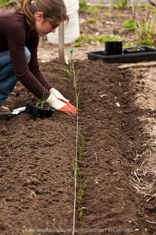 A gardener transplants onion seedlings in the compost-rich soil of a garden bed in a vegetable kitchen garden.