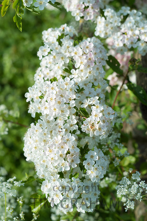 Blossom of Common Hawthorn - Crataegus monogyna -spectacular elegant white blooms in late Spring / early Summer, the Oxfordshire Cotswolds, UK