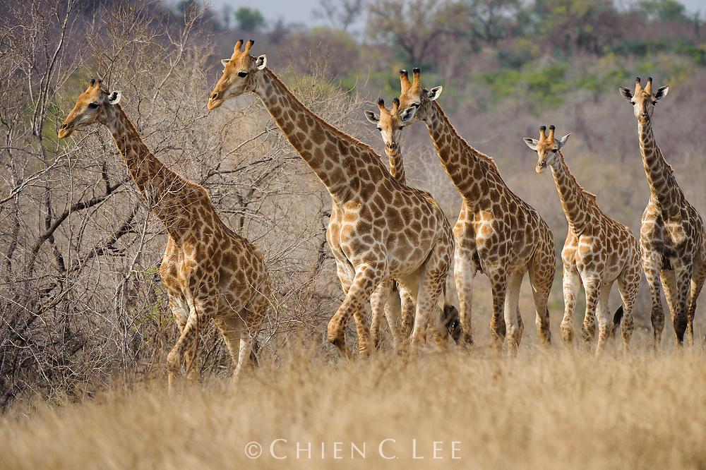 Giraffe (Giraffa camelopardalis giraffa). Mpumalanga, South Africa.