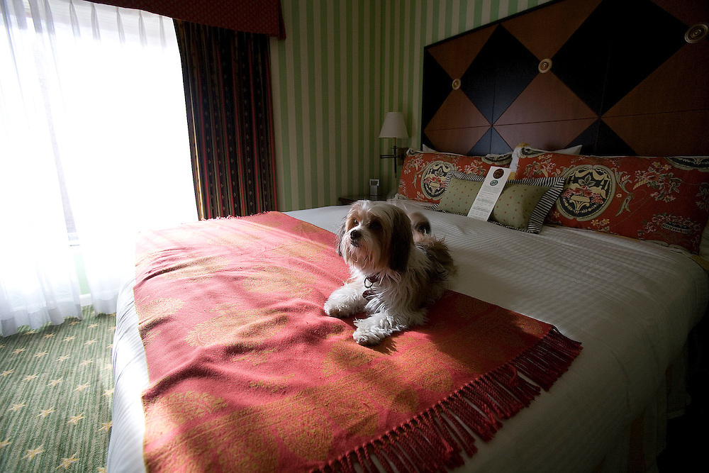 A dog named Stevie Nicks owned by Meredith Voller, Director of Sales and Marketing for Kimpton Hotels rests on a bed in one of the dog friendly rooms in the Hotel Monaco in Salt Lake City, Utah Thursday April 12, 2007. August Miller/ Deseret Morning News