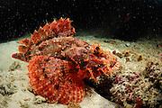 Tassled scorpionfish (Scorpaenopsis oxycephala) Raja Ampat, West Papua, Indonesia, Pacific Ocean | Flacher Drachenkopf (Scorpaenopsis oxycephalus)