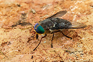 Horse Fly (Tabanus americanus) - female<br /> United States: Alabama: Tuscaloosa Co.<br /> Tulip Tree Springs off Echola Rd.; Elrod<br /> 33.33480, -87.79355<br /> 3-Jun-2016<br /> J.C. Abbott #2825 &amp; K.K. Abbott