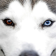 CTY Kennel03<br /> <br /> Mario, a Siberian Husky, owned by Toledoans Susan Sterling and Marek Moldawsky, waits to compete during the Toledo Kennel Club Dog Show at the Lucas County Fairgrounds in Maumee, Ohio, Saturday, June 2, 2018. THE BLADE/KURT STEISS