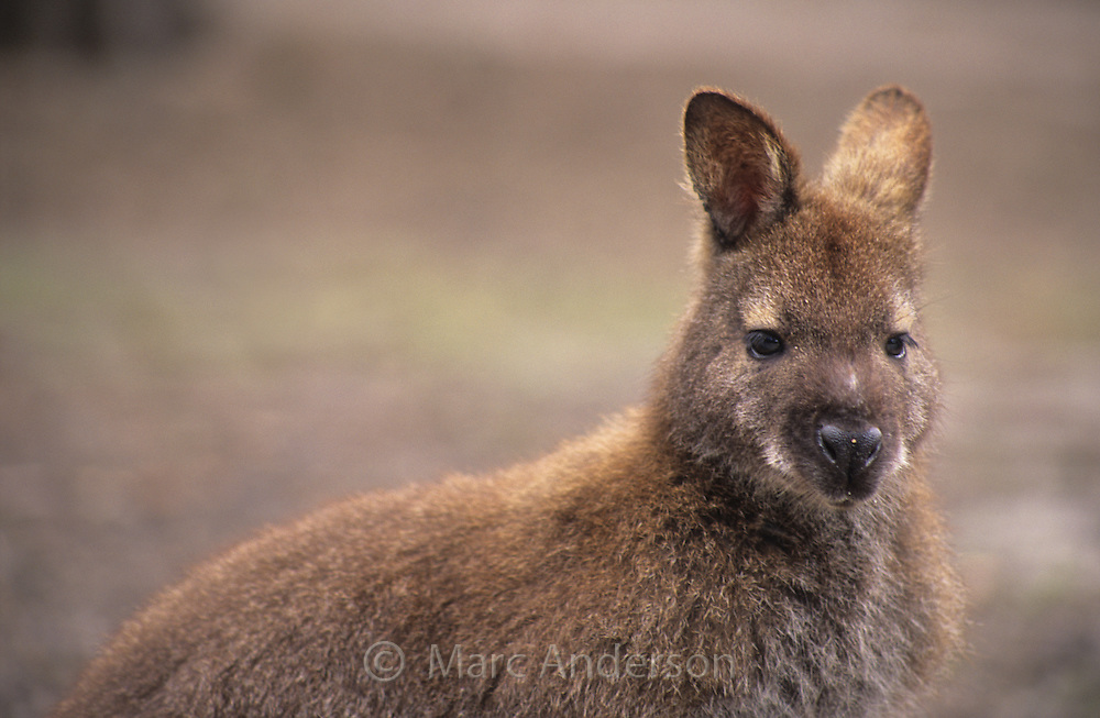 Red Necked Wallaby, Macropus rufogriseus, Tasmania