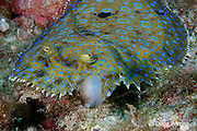 peacock flounder, Bothus lunatus, feeding on sharpnose puffer, Canthigaster rostrata, Turneffe Atoll, Belize, Central America ( Caribbean Sea )