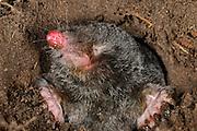 [captive] European Mole (Talpa europaea) in its subterranean burrow. | Maulwurf (Talpa europaea) in seinem unterirdischen Gang.